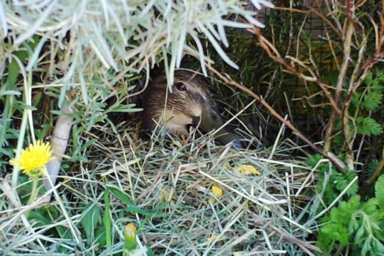 Ente Esmeralda im Nest