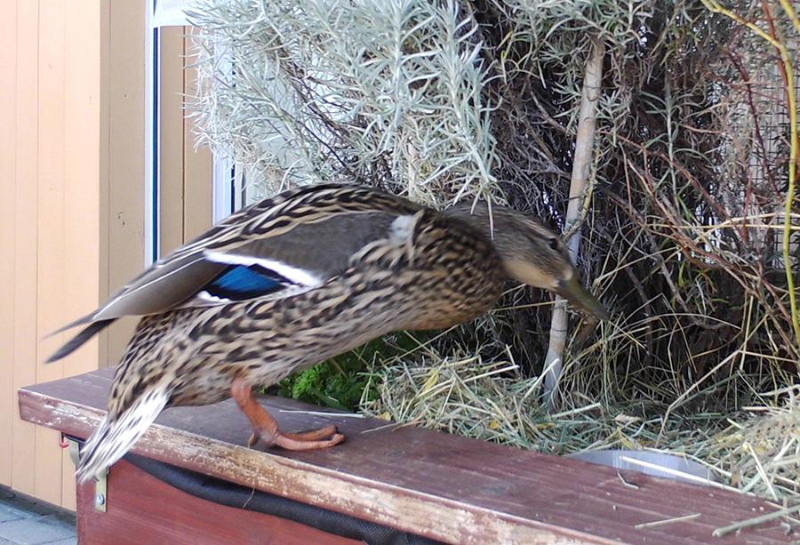 Ente Esmeralda kehrt ins Nest zurück