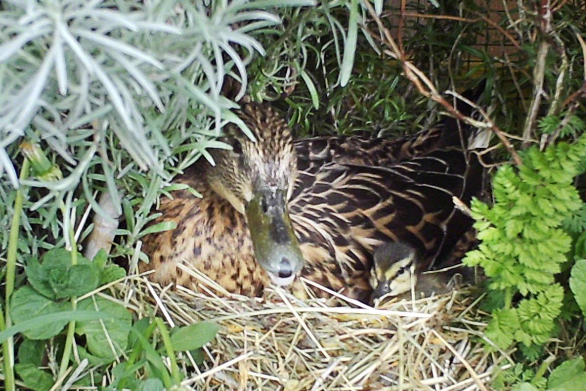 Esmeraldas Enten-Nest mit geschlüpften Küken