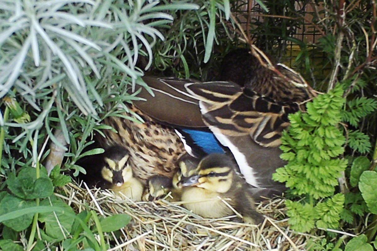 Esmeraldas Enten-Nest mit Küken