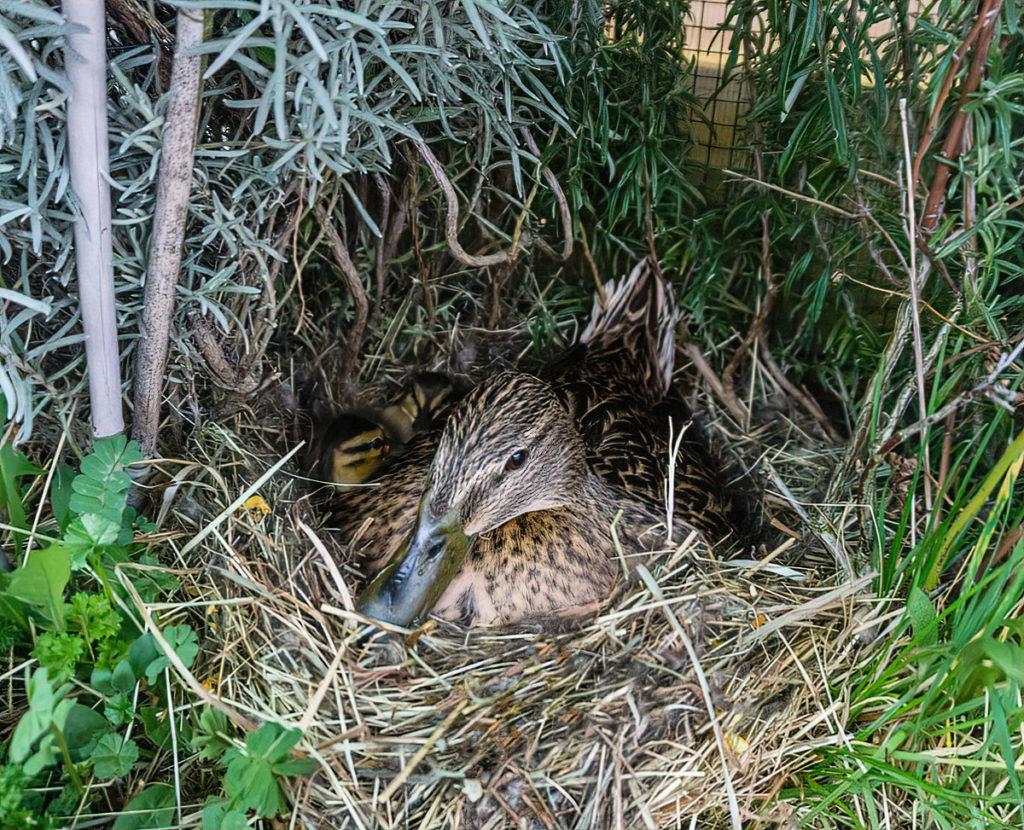 Esmeralda und ihre Küken im Nest