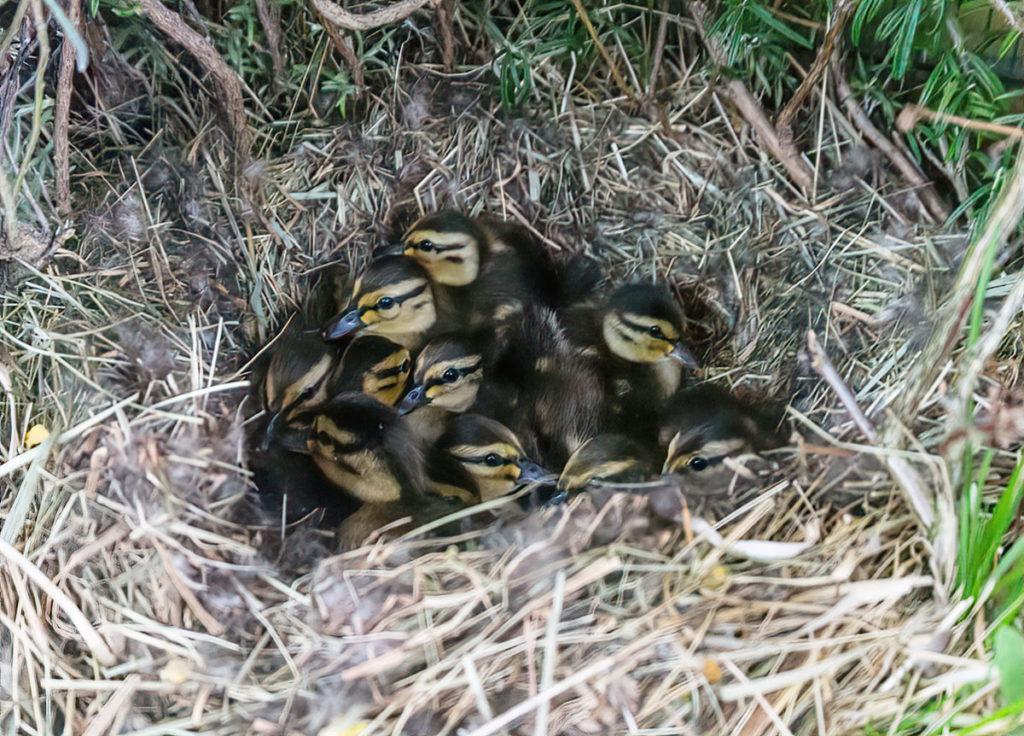 Esmeraldas Küken im Nest