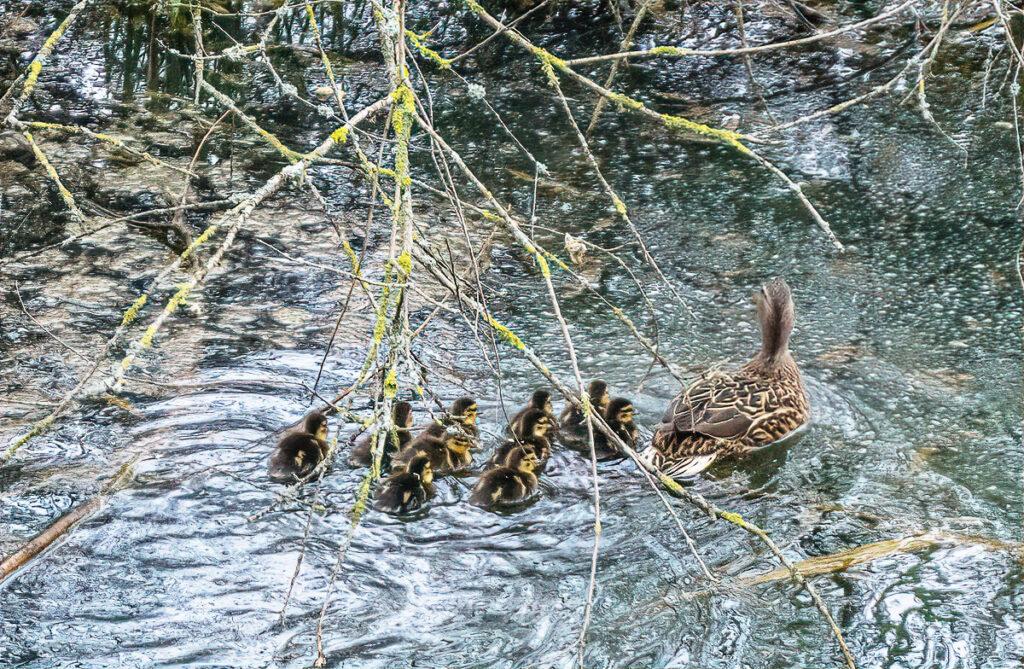 Esmeralda und ihre Jungen im See